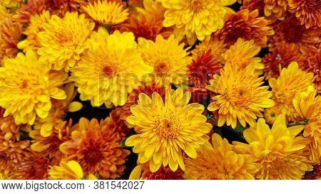 Close Up Of Gold And Orange Autumn Mum Flowers