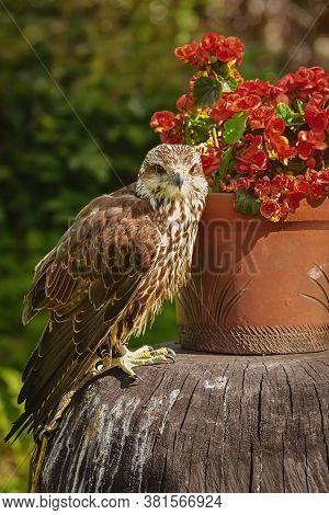 Saker Falcon (falco Cherrug), A Large Species Of Falcon