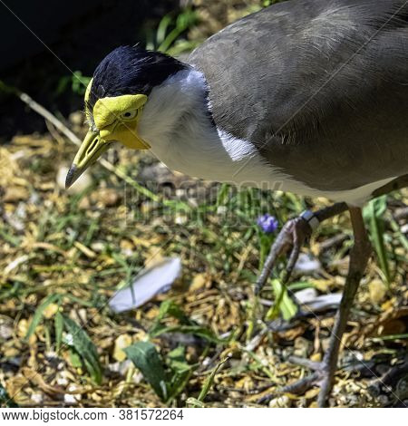 Vanellus Miles Known As Masked Lapwing, Masked Or Spur-winged Plover Is A Large, Common And Conspicu