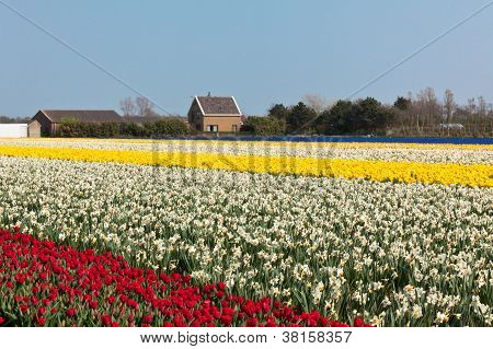 Multicolored Narcissus And Tilips Field In Holland