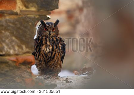 A Big Brown Eared Owl Looking Through Hole In Old  Wall. Bubo Bubo, Eurasian Eagle-owl.