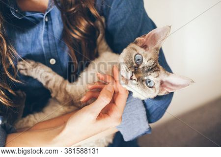 Close Up Of Woman Hands Holding  Her Devon Rex Cat. Home Pets. Young Woman Is Cuddling And Hugging H