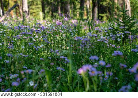 Meadow Of Purple Sticky Geranium (cranesbills) Wildflowers On The Forest Floor In The Shoshone Natio