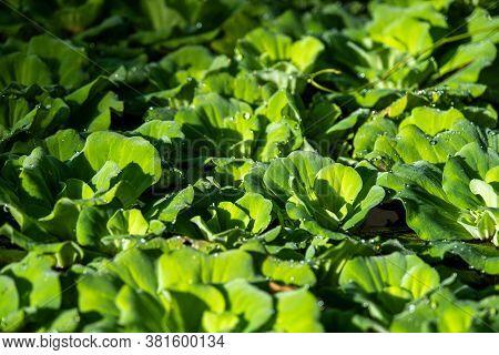 Close Up Floating Water Lettuce, Pistia Stratiotes Linnaeus Plant ,low Key