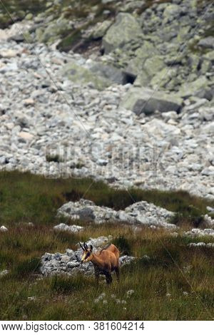 The Tatra Chamois (rupicapra Rupicapra Tatrica) Standing Under The Slope Of A High Mountain