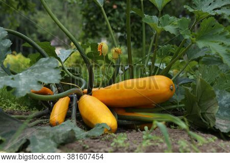 Yellow Zucchini Growing In Garden. Homegrown Courgette With Flowers In Vegetable Garden.