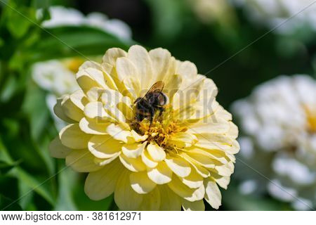 Close Up Of Blooming Zinnia Flower With Bumbl Bee Pilinating A Flower.