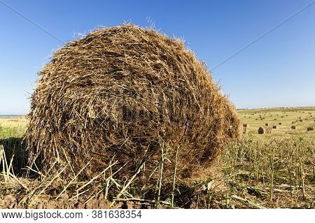 Agricultural Activity To Get A Rapeseed Crop, And The Straw From Rapeseed Is Collected For Use In Th