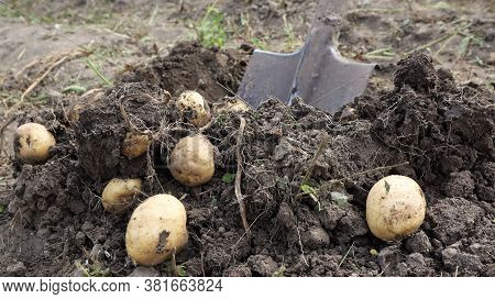 Harvesting From The Soil On The Plantation Of Early Young Potatoes. Fresh Organic Potatoes Are Dug O
