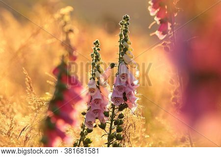 Foxglove sunset flower Nature background flower Nature flower Nature garden flower Nature background flower meadow Nature flower background Nature flower Nature flower Nature flower Nature background flower Nature background wildflower Nature background.