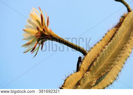 Large Elegant Flower Blossom On An Organ Pipe Cactus Taken In The Sonoran Desert
