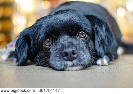 Dog, Expressions And Details Of A Black Puppy Lying On The Ground, Selective Focus.