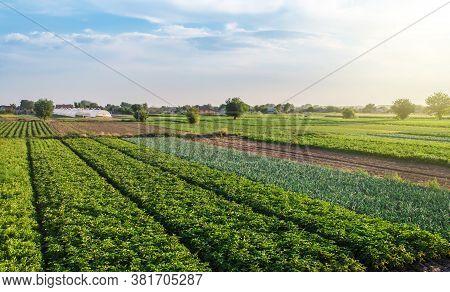Landscape Of Green Potato Bushes Plantation. Agroindustry And Agribusiness. Wonderful European Summe