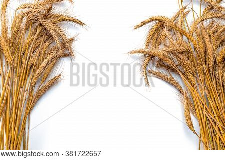 Grains Wheat Oats. Whole, Barley, Harvest Wheat Sprouts. Wheat Grain Ear Or Rye Spike Plant Isolated