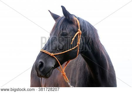 Black Stallion Head Isolated On White Background. Headshot Close Up Of A Young Thoroughbred Horse. S