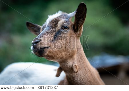 Charming And Cute Portrait Of A Dwarf Goat