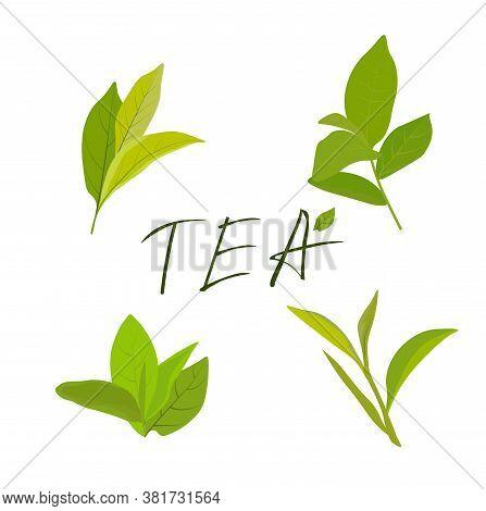 Tea Leaves Vector Botanical Illustration, Green And Black Teak Tea And Teabags Package Design Elemen