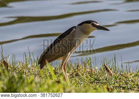Black-crowned Night Heron Bird In Real Nature In Sabah, Borneo