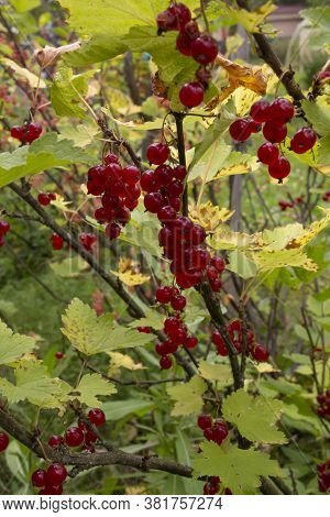 Wild Redcurrant Branch. Ripe Red Currants Close-up As Background. Ripe Red Currant Berries On A Bush
