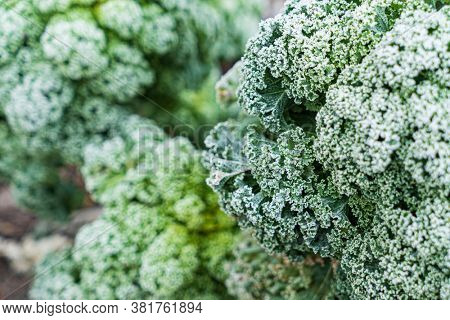 frosted kale cabbage in the garden