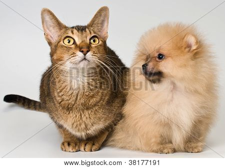 Cat And The Puppy Of The Spitz-dog