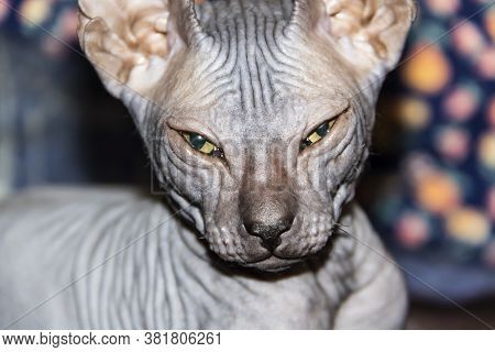 Gray Sphynx Hairless Kitten Close-up. Gray Sphynx Hairless Kitten. Beautiful Cat's Face With Hairles
