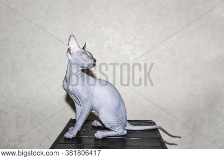 Sphinx Gray Cat Spins And Plays On A Dark Stool. Beautiful Hairless Sphynx Gray Kitten Moves And Jum
