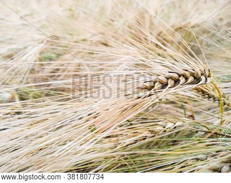 Close-up Golden Spikelet Of Rye Against The Backdrop Of An Earing Field Of Rye. Macro Shot Spike Of