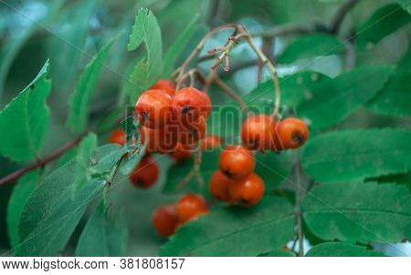 Red Rowanberry Bunch In Green Leaves Closeup