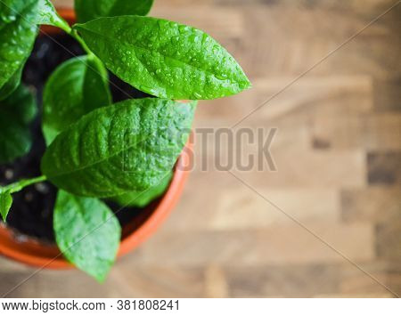 Close-up Green Lemon Leaves With Drops Of Water In A Brown Pot On A Wooden Table. Green Sprouts Of A