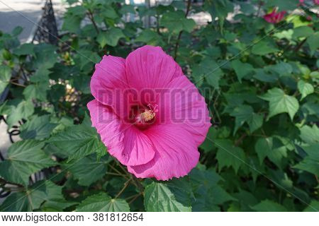 Close Shot Of Crimson Flower Of Hibiscus Moscheutos In August