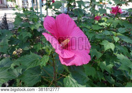 Close View Of Crimson Flower Of Hibiscus Moscheutos In August