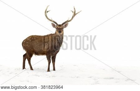 Sika Deer ( Cervus Nippon, Spotted Deer ) Walking In The Snow On A White Background