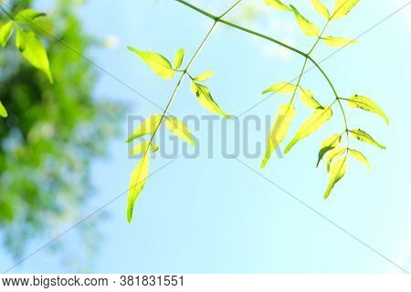 Silhouette Sunlight At Noon With A Bouquet Tropical Tree Leaves And Blue Sky,bokeh Green