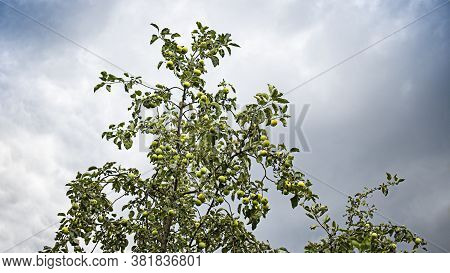 Apple Tree Full Of Apples Against The Sky. Green Apples On A Branch. Village Garden. Natural Product