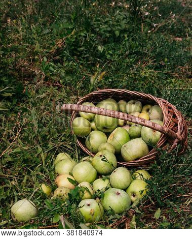 Fresh Bright Green Apples In An Upturned Basket, The Farmer's Harvest Of Late Summer And Early Autum