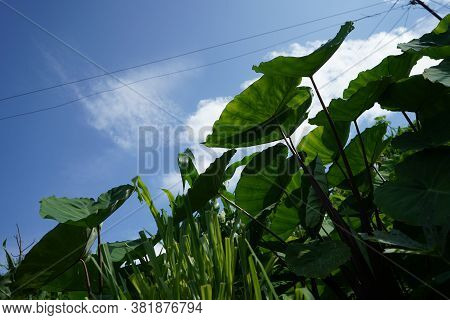 Low Angle Of The Taro Root Plants With Bright Sky And White Clouds