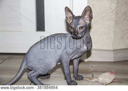 Sphinx Gray Cat Spins And Plays With A Toy On The Floor. Beautiful Hairless Sphynx Gray Kitten Moves