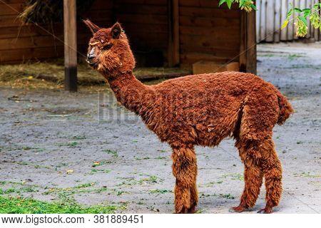 Brown Alpaca (vicugna Pacos) On A Farmyard