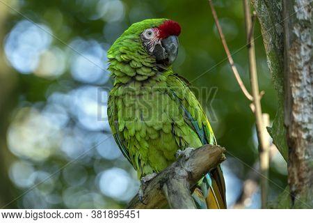 Great Green Military Macaw Ara Militaris Mexicana Portrait.