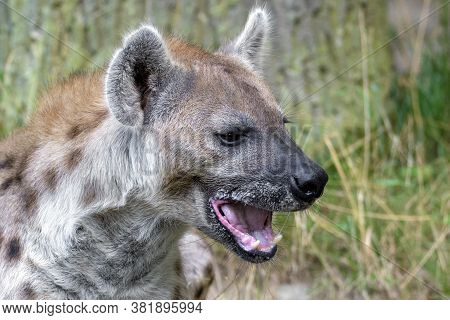 Spotted  Hyenas In Nature, Close Up. Carnivore, Creature.