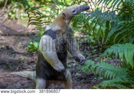 Southern Anteater Tamandua Tetradactyla, He Stands And Watches The Surroundings.