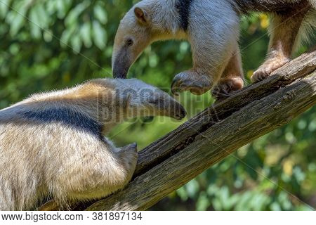 Southern Anteater Tamandua Tetradactyla, Couple Standing On The Tree