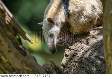 Southern Anteater Tamandua Tetradactyla, Standing On The Tree