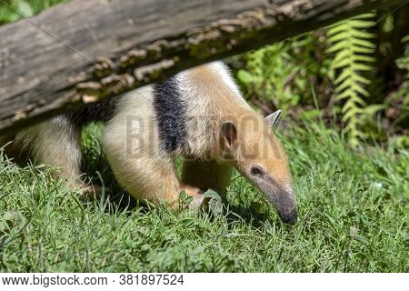 Southern Anteater Tamandua Tetradactyla, Standing By A Tree.