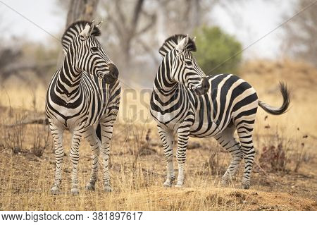 Two Zebra Looking Alert Standing In Dry Winter Bush In Kruger Park South Africa