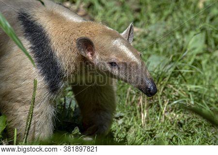 Southern Anteater Tamandua Tetradactyla, Standing On The Grass
