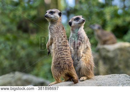 Couple Of Meerkat Suricata Suricatta, African Native Animal, Small Carnivore .