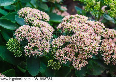 Bee Pollinates Sedum, Pink Little Flowers In The Flower Bed
