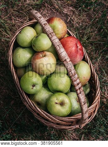 Fresh Bright Green And Red Pink Apples In A Basket, The Farmer's Harvest Of Late Summer And Early Au